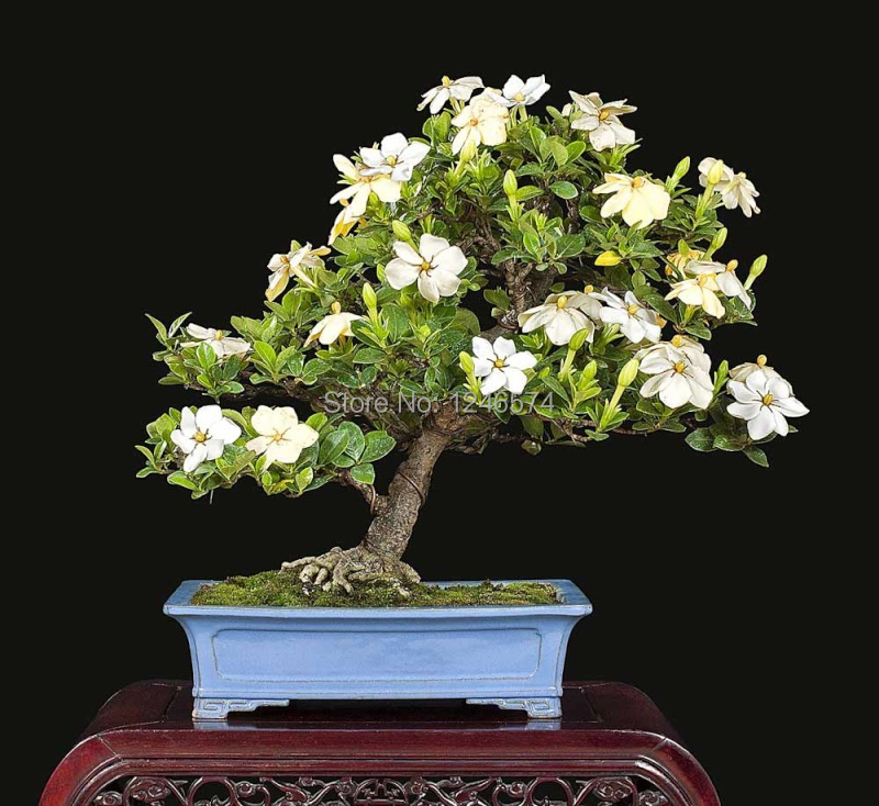 5PCS Gardenia Seeds (Cape Jasmine ) DIY Home Garden Potted Bonsai, Amazing  Smell U0026 Beautiful Flowers, Free Shipping In Bonsai From Home U0026 Garden On ...