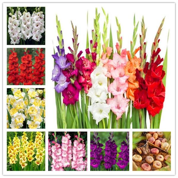 100 Pcs Rare Striped Gladiolus Sword Lily Garden Plant Flowers Orchid Gladiolus Bonsai Seedsplant Gandavensis High Survival Rate