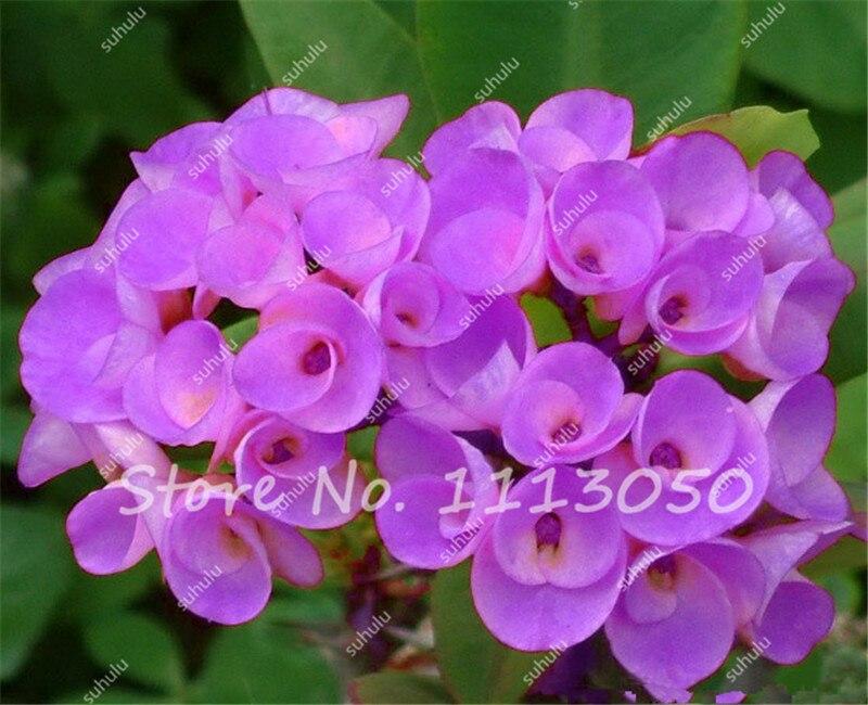 100pcs euphorbia milii hybrid mix middle perennial flower plants big 100pcs euphorbia milii hybrid mix middle perennial flower plants big flowers mightylinksfo