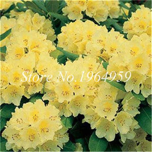 100 Pcs اليابانية الوردي الأزالية بونساي ، الريددندرين الأزالية ، الأزالية زهرة بونساي شجرة النباتات Diy مصنع المنزل حديقة سهلة تنمو