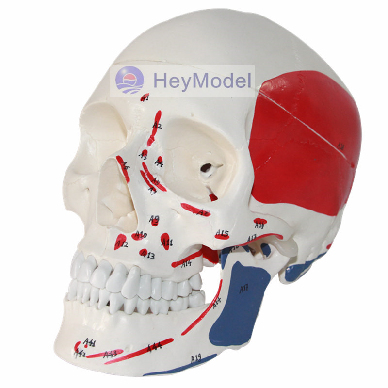 HeyModel Skull Model Artificial 1: 1 Size with Muscle Band NumbersHeyModel Skull Model Artificial 1: 1 Size with Muscle Band Numbers