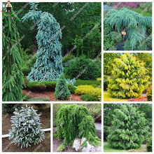 100 Pcs Mendaki Spruce Bonsai Pohon Pinus Bonsai Di Pot Bonsai Taman Halaman Bunga Pot Pekebun Gratis Pengiriman(China)