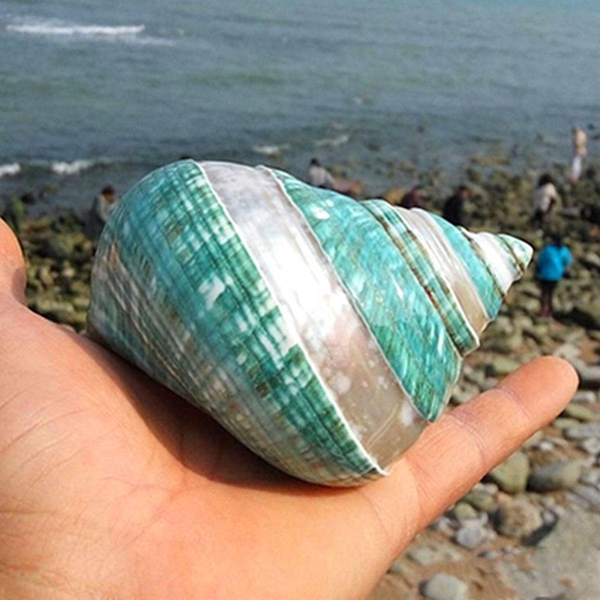 Kiwarm Natural Turban Conch Shell Sea Shell Beach Fish Tank