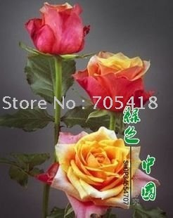 5 packages Rose seeds - Cherry brandy Rose ** 20 seeds per packages** flower seeds, home gardening