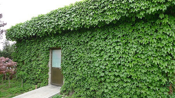 Climbing Plant Ivy Seeds, Parthenocissus Seeds, 100pcs/pack