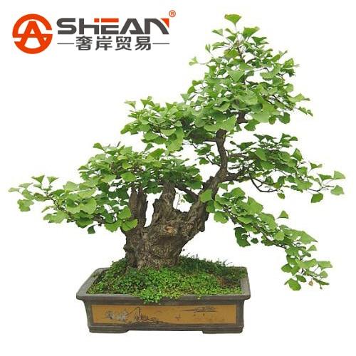 Online Buy Wholesale Bonsai From China Bonsai Wholesalers
