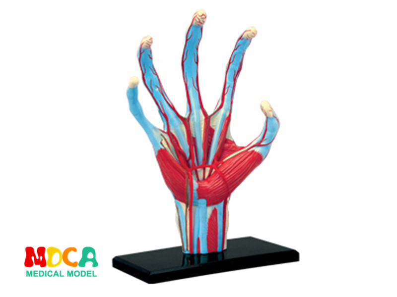 Hand 4d master puzzle Assembling toy human body organ anatomical model medical teaching model organ anatomical model teaching medical human body specimen model human lung anatomical model 4 parts gasencx 0055