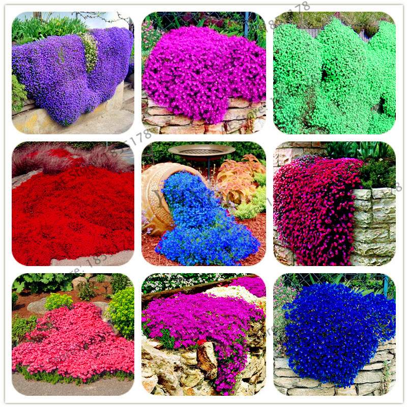 Big sale 205pcs rare ROCK cress bonsai Climbing plant Creeping Thyme flores Perennial Ground cover flower for home garden