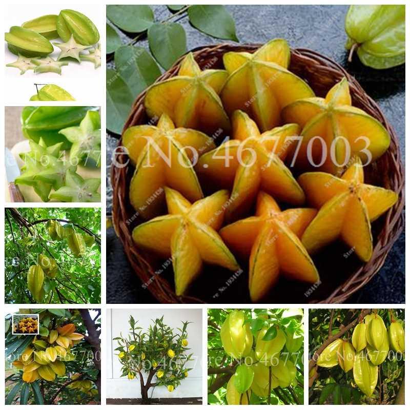 Organic 50 ชิ้น/ถุง Exotic Carambola Bonsai Star ผลไม้ต้นไม้พุ่มไม้ผลไม้กินได้ Starfruit สำหรับบ้านสวนดอกไม้หม้อ Planters