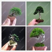 50 pcs Mini Black Pine bonsai, Indoor Plants Radiation Protection Bonsai, Japanese bonsai Tree for home garden potted plant