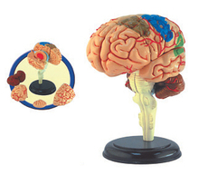 4D MASTER assembled model Brain structure Anatomical of 4D Puzzle skull brain Medical Science model