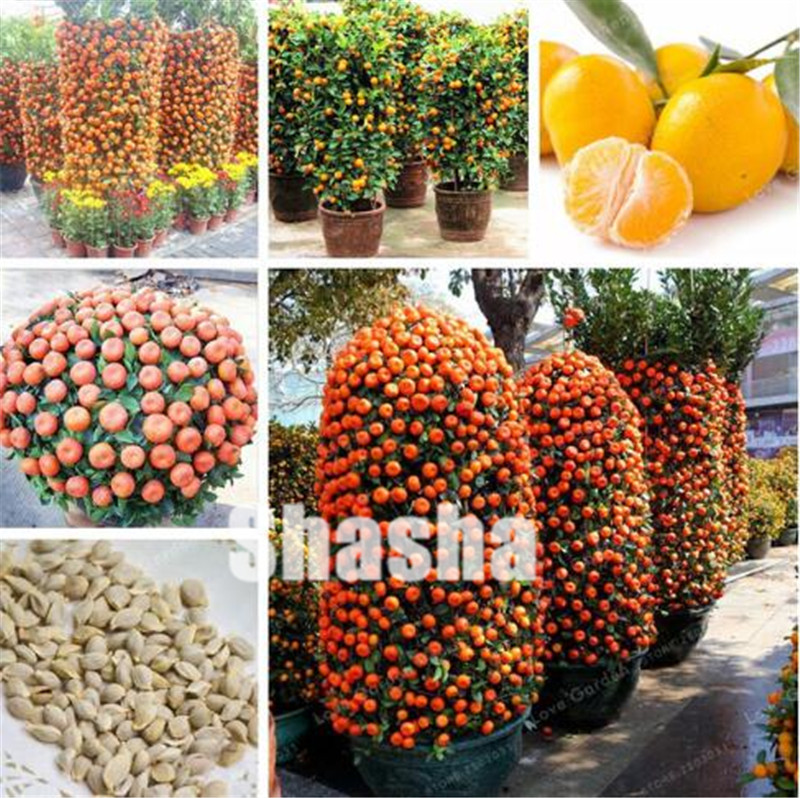 50 Pcs Citrus Reticulata Orange Plant Dwarf Bonsai Mandarin Orange Plant Edible Sweet Citrus Fruit Tree For Home Garden