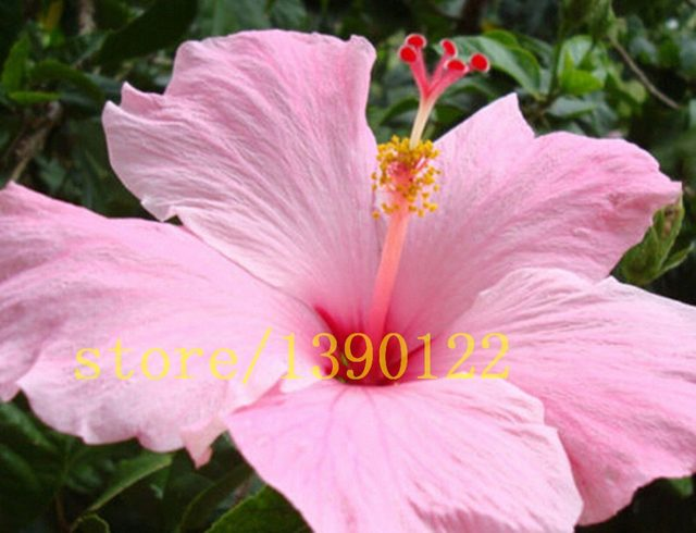 Online Shop 200 giant hibiscus seeds Dinnerplate Hibiscus /Perennial ...