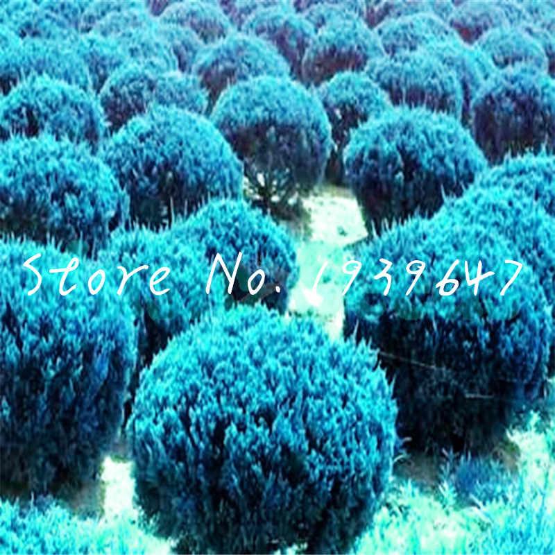 100 قطعة العرعر كرات في الهواء الطلق بونساي شجرة النباتات المعمرة مكتب سطح المكتب العرعر بونساي planta للمنزل حديقة ديكور لوازم