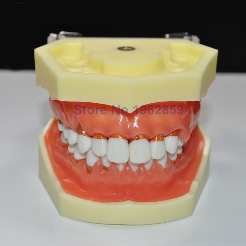 Teeth Model Dental Periodontal Disease Practice Dental Model With