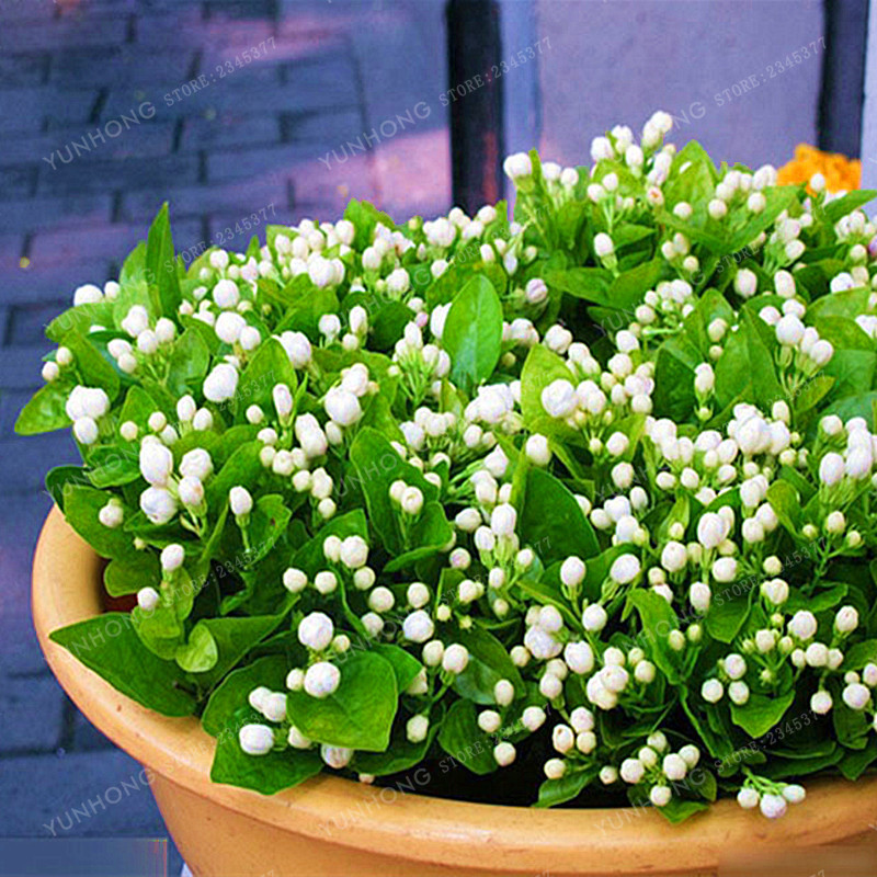 Jasmine Flower Seeds 20 Pcs/Pack Balcony Potted White Jasmine Seeds Flowering Plants Easy To Grow Plant Seeds DIY Home Garden