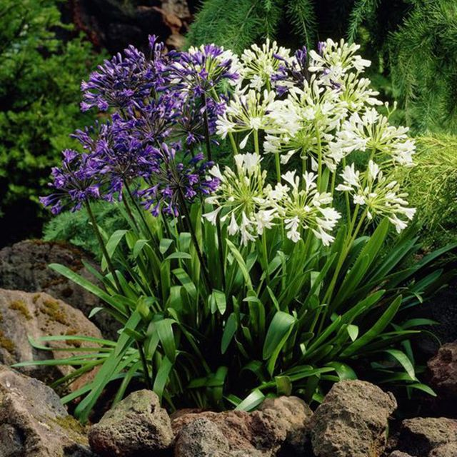 African lily Agapanthus Lily of the Nile Plants Flowers rare – Rare Garden Plants