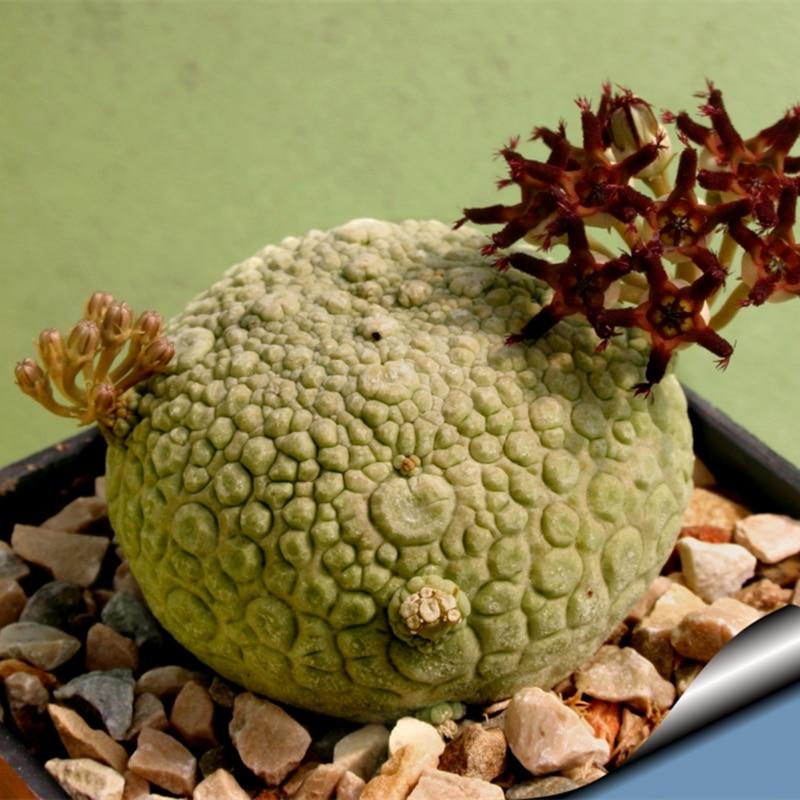 Very Rare P.R.O. Bally Succulents seeds PSEUDOLITHOS sphaericus seeds special import flesh Lithocaulon sphaericum Plant seeds