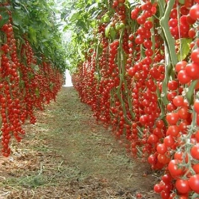 100 шт скалолазание помидоры съедобные Семена овощей для выращивания в комнатных условиях растения пищевые бонсай горшок домашние Садовые посадки