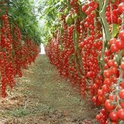 100 шт. восхождение томатные съедобные томат бонсай овощных растений пищевые бонсай горшок домой садовое насаждение