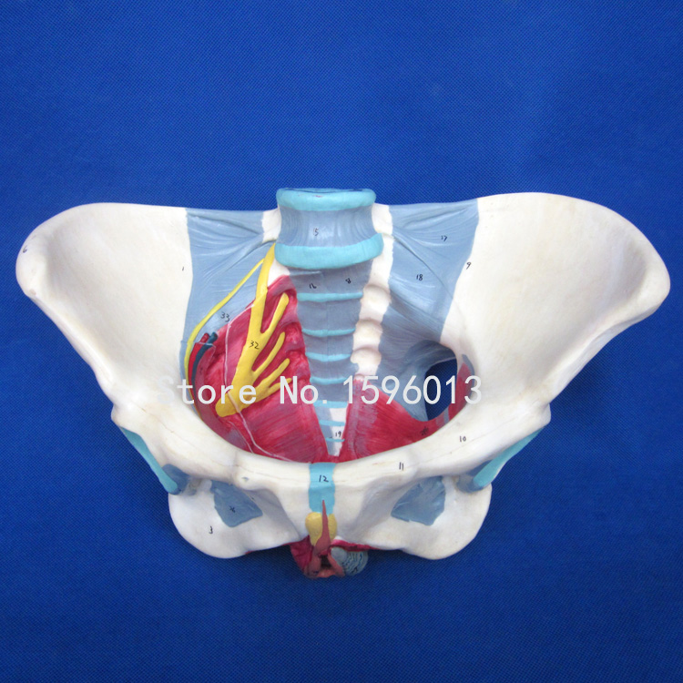 HOT Anatomical Female Pelvis Model,Female Pelvis Model With Ligaments,nerves And Perineum
