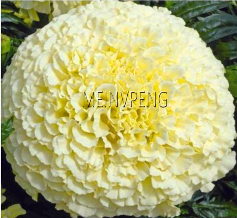 100pcs Marigold Seeds Potted Plant Flower Seed Home Garden Decoration