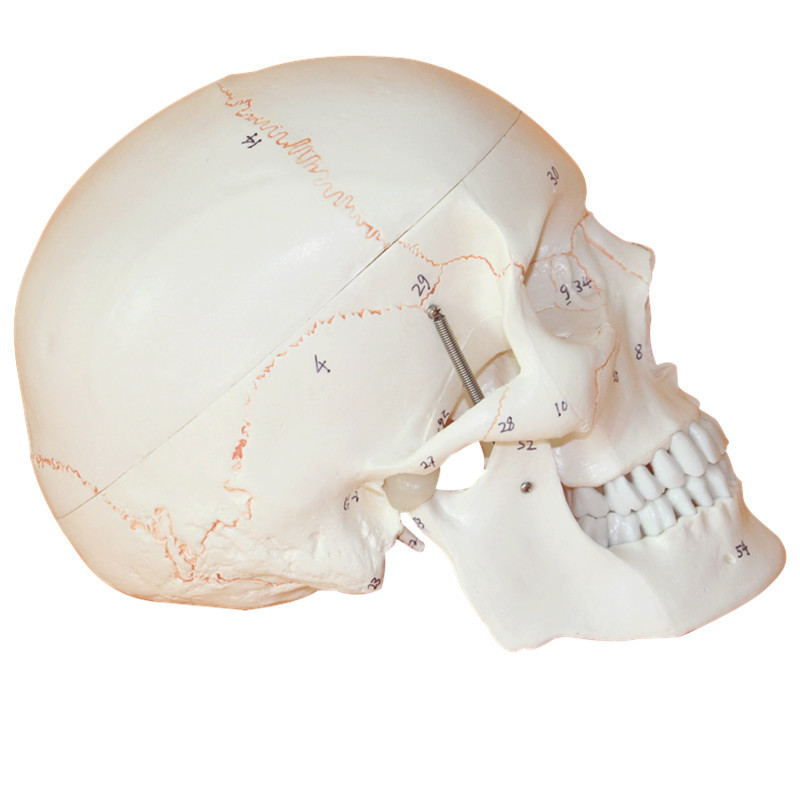 Skull Model of Human Skull Model Medicine Skull Human Anatomical ...
