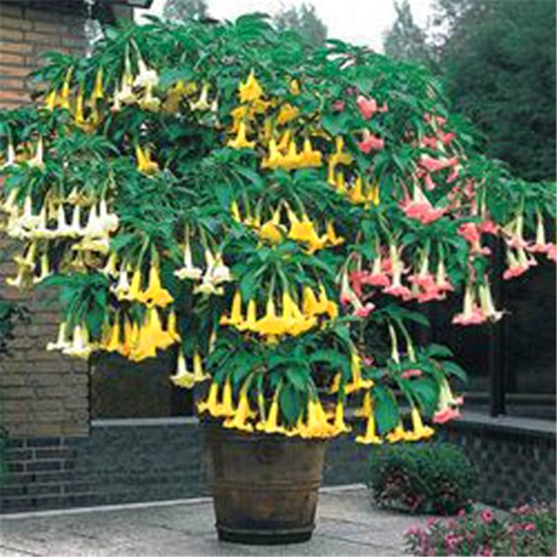 Beautiful 20 mix color datura seeds dwarf brugmansia angel trumpets beautiful 20 mix color datura seeds dwarf brugmansia angel trumpets bonsai flower fragrant yellow blooms for diy home garden in bonsai from home mightylinksfo