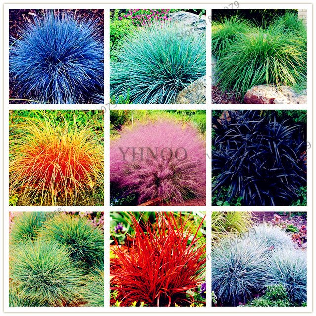Pictures Of Ornamental Grass 100pcsbag fescue grassfestuca glaucaseeds drought tolerant 100pcsbag fescue grassfestuca glaucaseeds drought tolerant ornamental grass seeds perennial workwithnaturefo