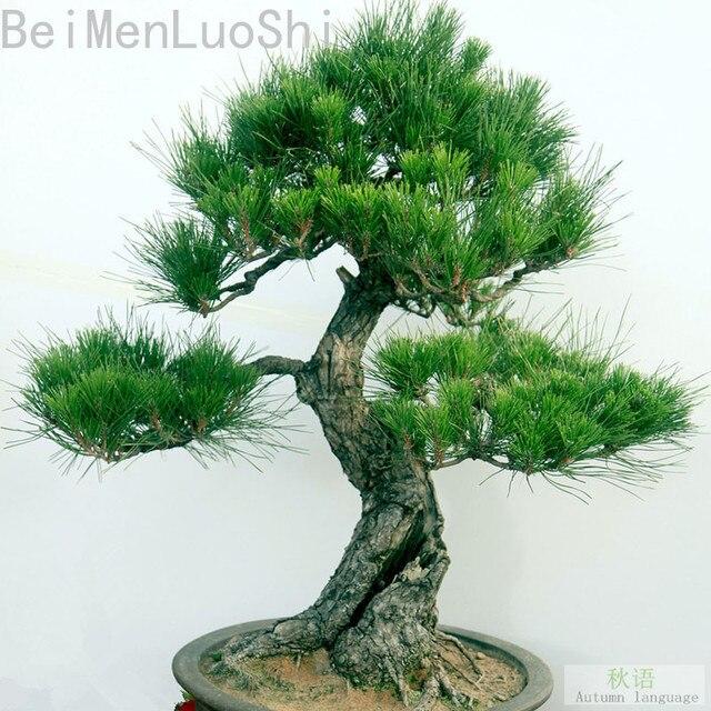 Bonsái jardín decoración flor Seedsplant houshi bonsái Pino jardín 20 piezas