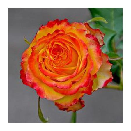 Rosas Vermelhas E Amarelas Sementes Misturadas Escassez De Sementes