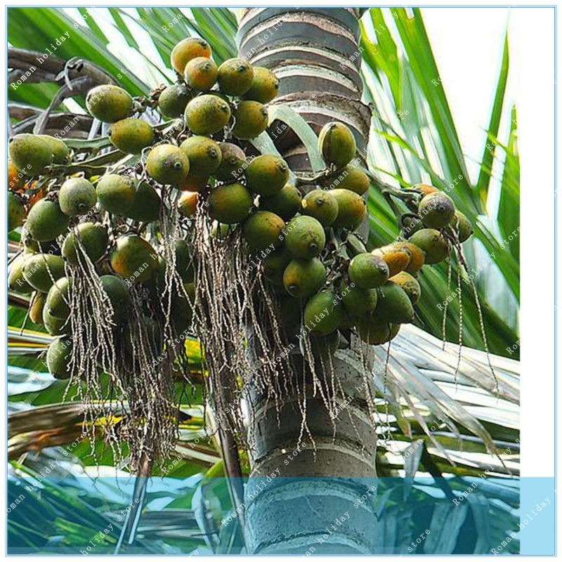 top 10 largest betel nut in brands and get free shipping