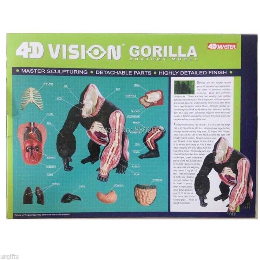 4d Vision gorila anatomía modelo ensamblado anatomía animal modelo ...