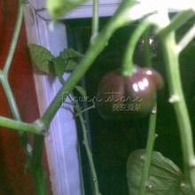 20 Jamaican Hot Chocolate Habenero Pepper Seeds