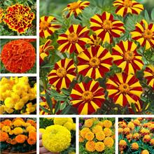 Big sale 200 pcs/bag African Marigold French Marigold Herbs Tagetes Erecta Flower Bonsai Tagetes Flower For Home Garden Plant