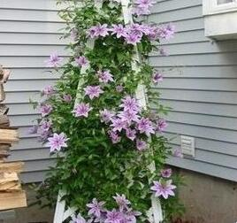vine clematis potted clematis garden flowers no the clematis bulbs 10 seedsbag
