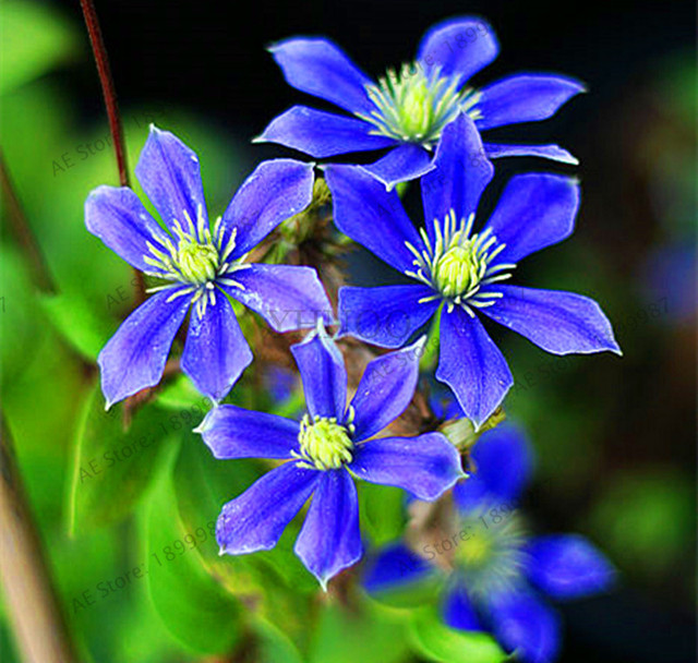 Bonsai Blue Clematis Hybridas Potted Hanging Flowers 105 PCS