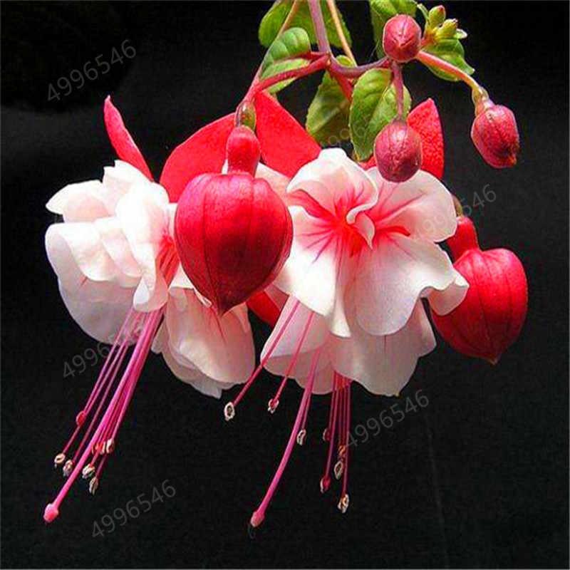 200 قطعة/الحقيبة متعددة اللون الفوشيه بونساي ، Hybrida هورت فلوريس ، بونساي فانوس الزهور ، ل حديقة المنزل داخلي تزهر النباتات