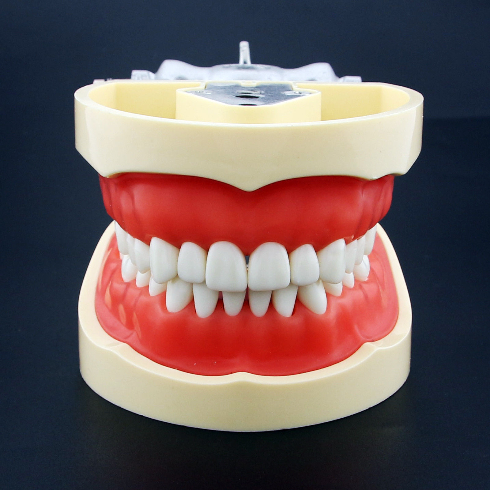 Dental All Removable Teeth Model 28 pcs Dental Teeth Model for Dental Practice teeth orthodontic model ceramic braces wrong jaw demonstration model orthodontics practice model