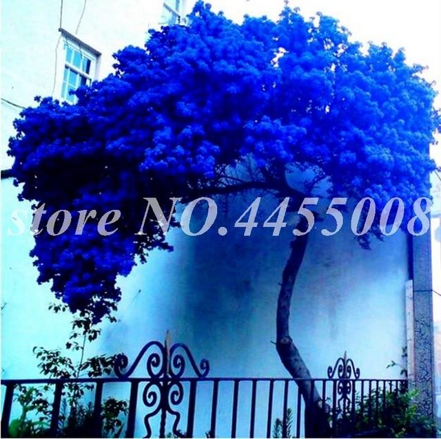 50 pz Rare Jacaranda Mimosifolia Albero Bonsai All'aperto Jacaranda Fiore Giardino Arbusti Sempreverdi per Vaso di Fiori Fioriere Facile Crescere
