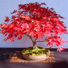 10 pcs/bag Graines Mini Beautiful Red Maple Seeds Bonsai Ornamental Diy Plant Flower Pot Indoor Garden Plants Tree Seed