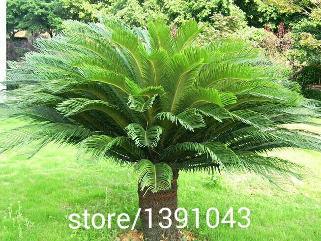 Cycas seeds, Bonsai seeds, Cycads tree 100% true seed in-kind shooting,10pcs/bag