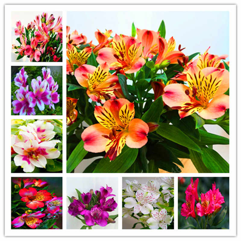 100PCS hot-selling Rare Peruvian Lily Alstroemeria Flower Mix-color Beautiful Flower for Home & Garden Free Shipping