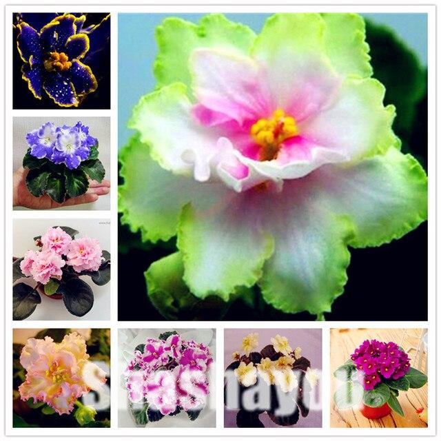 100 шт Мини бонсай фиолетовые растения редкий Африканский Цветочный для дома садовый многолетник травы комнатные растения цветы левкоя седого растения