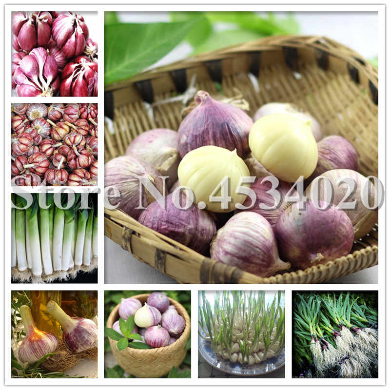 100 Pcs/Bag garlic bonsai plant Chinese specialty purple skin single head garlic healthy delicious vegetable kitchen condiment