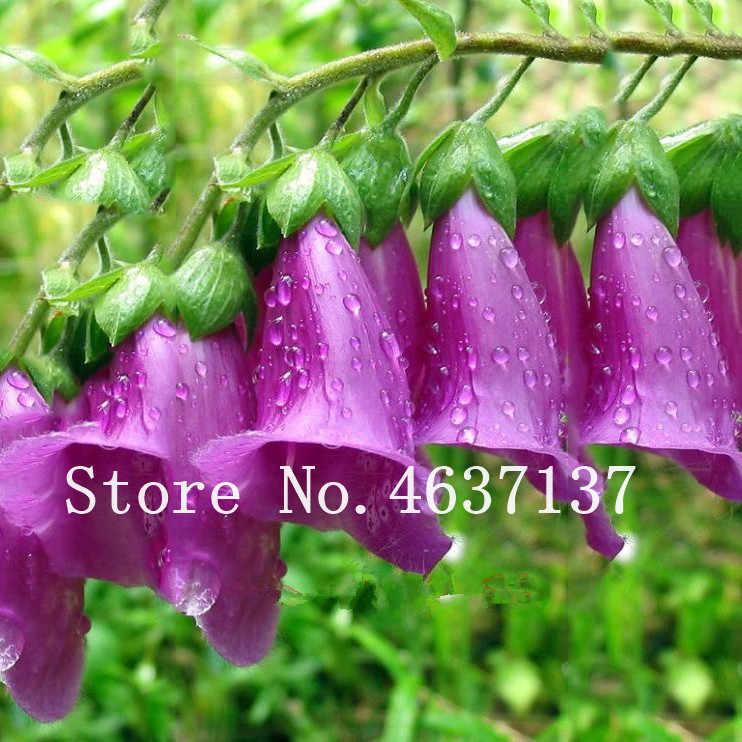 100 יחידות פעמונית בונסאי, פרח בעציץ צמח, פעמונית נוי צמחים, פעמון סחלב, גן קל לגדול בית אוויר שתילה