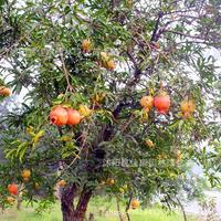 pomegranate plant fruit tree fruit pomegranate Mountain 200g / Pack