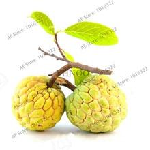 10 pcs Custard Apple fruit Seeds, Buddha's head fruit, Rare Giant Cherimoya seeds,Sugar Apple,Sweet fruit,Annona Tree Seeds