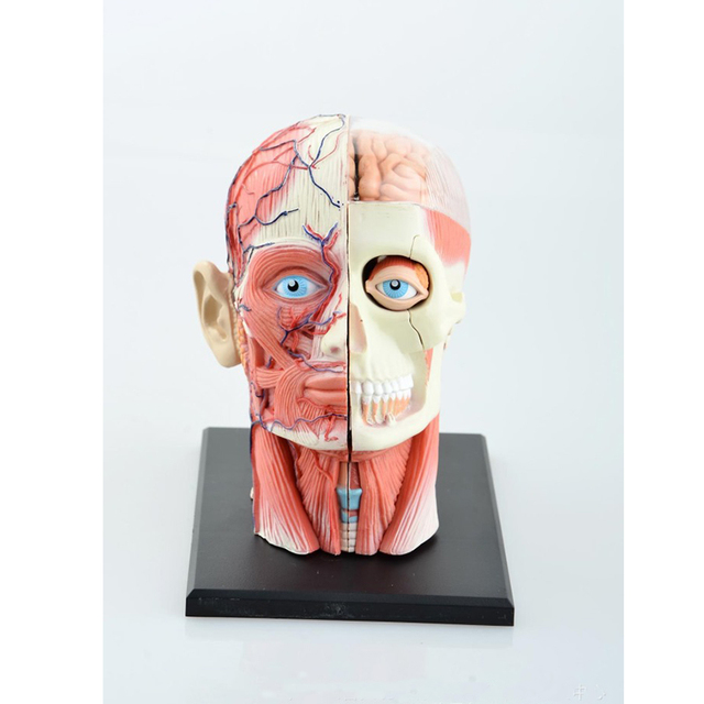 One Piece Anime Science Toys Dental Lab Dentist Human Head Anatomy