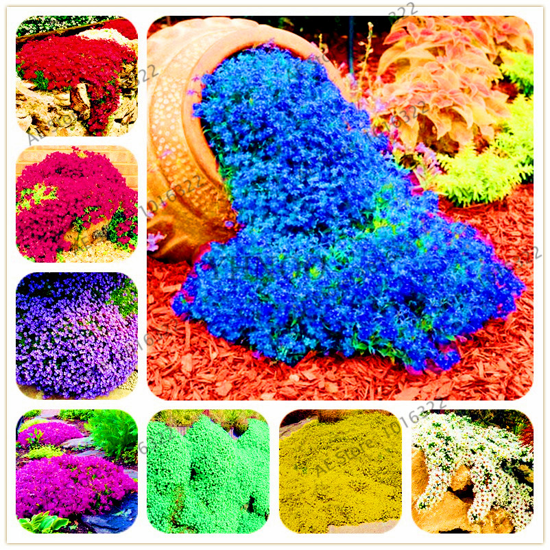200pcs/bag Rock cress Creeping Thyme bonsai Multi-color Perennial flower plant Ground cover flower garden decoration
